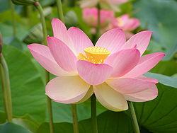 flor de loto, DR. francisco aedo